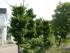 090706_sawara_01.jpg